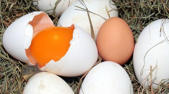 Ovo de Galinha Como Iniciar a Produção e Problemas Comuns