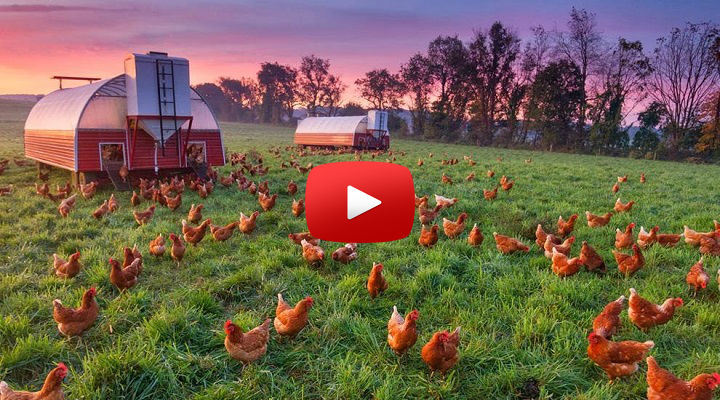 Criação de Frangos e Ovos Orgânicos